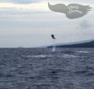 springender Tümmler / jumping Bottlenose Dolphin